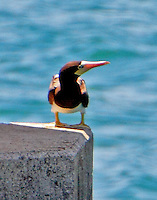 Adult female brown booby