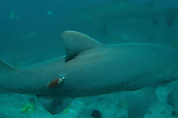 Grey Nurse Shark, Carcharias taurus, or Sand Tiger Shark or Ragged-Tooth Shark, with tag covered in algae, critically endangered in Australia, Fish Rock, South West Rocks, New South Wales, Australia, South Pacific Ocean
