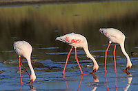 Lesser flamingoes (Phoeniconaias minor), Africa