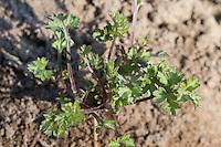 Gewöhnlicher Beifuß, Beifuss, Blatt, Blätter im zeitigen Frühjahr, Artemisia vulgaris, Mugwort, common wormwood