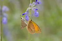 Eufala Skipper (Lerodea eufala), Lost Maples State Natural Area, Hill Country, Texas, USA