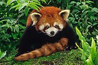 Red Panda (Ailurus fulgens) Wolong Nature Reserve, China.