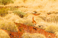 Red Kangaroo bounds into the desert of Western Australia