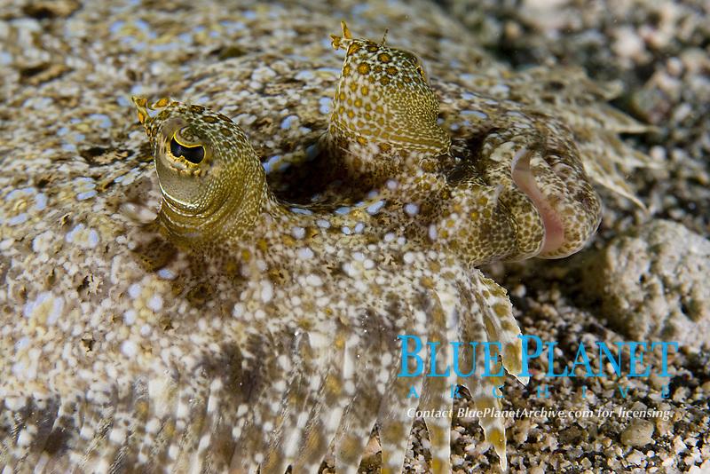 UNidentified Flounder, St. Vincent, Caribbean, Atlantic