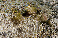 UNidentified Flounder, St. Vincent, Caribbean, Atlantic