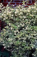 Philadelphus coronarius 'Bowles' Variety', variegated mockorange shrub in bloom, fragrant bush