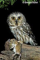 OW03-091z  Saw-whet owl - with mouse prey - Aegolius acadicus