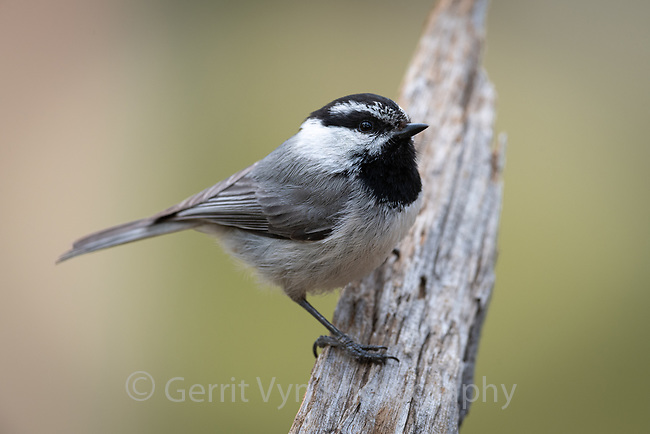 Mountain Chickadee (Poecile gambeli). Deschutes National Forest, Oregon. May.