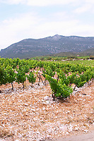 Domaine d'Aupilhac. Montpeyroux. Languedoc. Mont Baudile and the plateau. Calcareous limestone plateau called rendzine. Terroir soil. France. Europe. Vineyard. Mountains in the background. Mont Saint Baudille. Soil with stones rocks. Calcareous limestone.