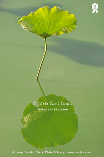 Water lily leaf reflected in pond (Licence this image exclusively with Getty: http://www.gettyimages.com/detail/83154190 )