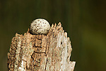White Tern (Gygis alba) egg on branch on which it was laid since these birds build no nest, Midway Atoll, Hawaiian Leeward Islands, Hawaii