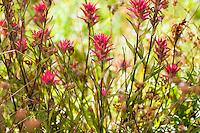 Castilleja miniata - <br /> Great Red Paintbrush,  scarlet paintbrush, flowering wildflower, California native plant Sierra meadow