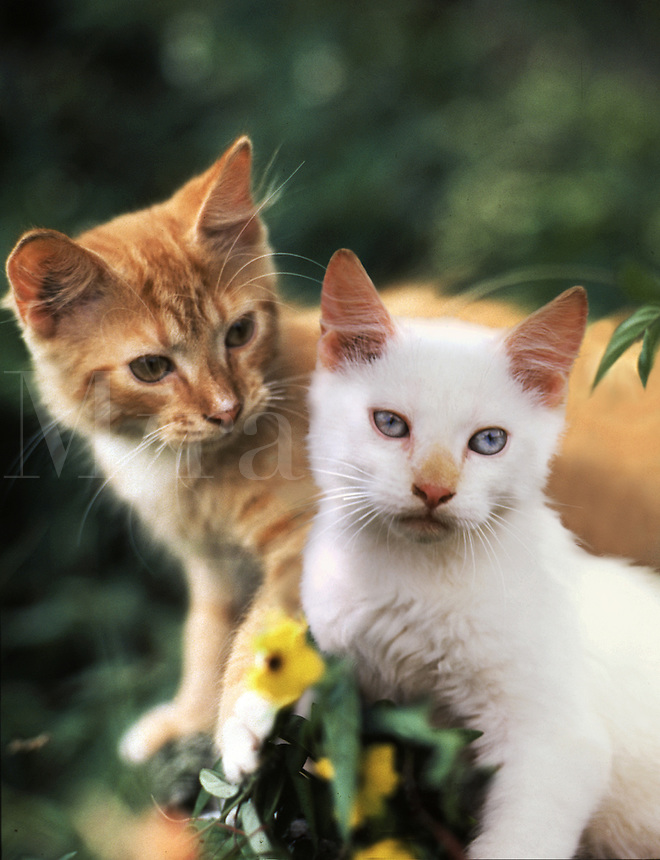 Portrait of two Manx kittens.