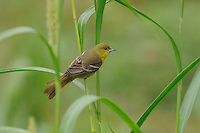 Orchard Oriole (Icterus spurius), female on Manchurian wild rice (Zizania latifolia), Port Aransas, Mustang Island, Coastal Bend, Texas Coast, USA