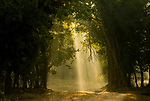 Early morning shafts of light through deciduous Sal forest. Bandhavgarh National Park, India.