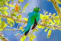 Trogons | Quetzals