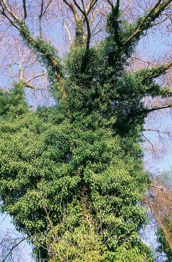 Gewöhnlicher Efeu, ist in großen Baum emporgeklettert, Hedera helix, Common Ivy