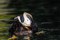 Tufted puffin (Fratercula cirrhata)