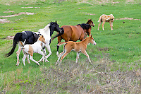 Mares and foals running across the plains on the Pine Ridge Reservation in South Dakota. Indian paints. Horses of the plains.