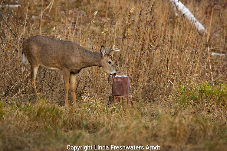 White-tailed buck licking a mineral block