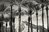 Palm trees with moon, sunrise and Santa Rosa Mountains, California