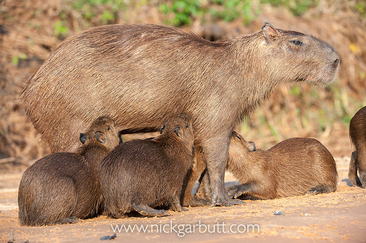 Female Capybara (Hydrochaeris hydrochaeris) suckling her brood of young. Sandbank on the Cuiaba River, Pantanal, Mato Grosso, Brazil. (World's largest rodent)