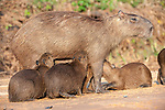 Female Capybara (Hydrochaeris hydrochaeris) suckling her brood of young. Sandbank on the Cuiaba River, Pantanal, Mato Grosso, Brazil. (World's largest rodent)