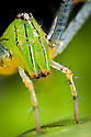 Malagasy green lynx spider {Peucetia madagascariensis}. Masoala Peninsula National Park, north east Madagascar.