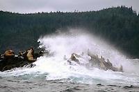 Haida Gwaii (Queen Charlotte Islands), Northern BC, British Columbia, Canada - Colony of Steller Sea Lions (Eumetopias jubatus) basking on Reef Island, Gwaii Haanas National Park Reserve and Haida Heritage Site