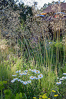 Stipa gigantea grass and Shasta Daisy (Leucanthemum x superbum) in meadow garden with dappled light - Barbata garden, Walnut Creek, California