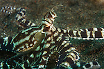 Mimic octopus, Thaumoctopus mimicus, a long armed octopus that displays significant intelligence, Puri Jati, north Bali, Indonesia, Pacific Ocean