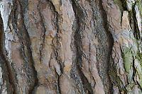 Wald-Kiefer, Waldkiefer, Gemeine Kiefer, Kiefer, Kiefern, Föhre, Rinde, Borke, Stamm, Baumstamm, Pinus sylvestris, Scots Pine, Pine, bark, rind, trunk, stem, Pines, Le Pin sylvestre