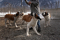 St Bernard dogs that were bred in the Alps to rescue people.  Today they are a tourist attraction and are well-cared for by a foundation.
