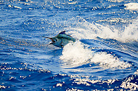 black marlin, Istiompax indica (formerly Makaira indica), jumping In Swell, New South Wales, Australia, South Pacific Ocean