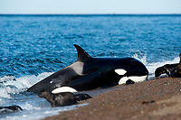 orca or killer whale, Orcinus orca, attacking South American sea lion, Peninsula Valdes, Patagonia, Argentina, South Atantic