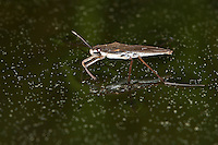 Wasserläufer, Wasser-Läufer, Gerris spec., pond skater, water strider, pond skipper, Teichläufer, Gerridae, pond skaters, water striders, pond skippers