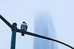 A red tailed hawk sits on a lampost prior to the Peoples Climate March in New York. More than 300,000 march in solidarity for Climate accountability, at the People's Climate March on September 21, 2014. (Credit: Robert van Waarden)