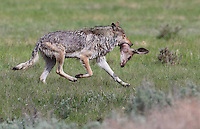 This wolf pack had recently killed a mule deer doe and this one is heading back to the den with it's prize.