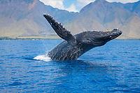 humpback whale, Megaptera novaeangliae, breaching, Maui, Hawaii, USA, Pacific Ocean