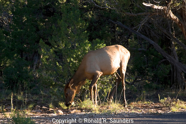 Elk grazing in the forest at the Grand Canyon