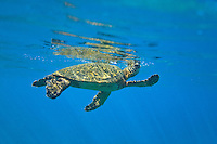Green Sea Turtle (Hawaii); Chelonia mydas