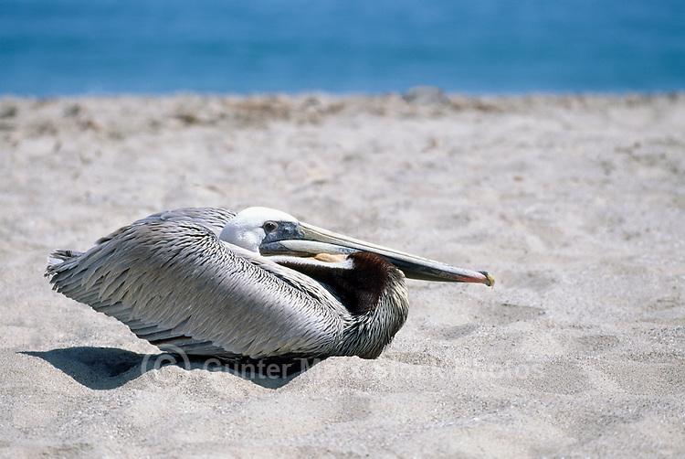 Brown Pelican (Pelecanus occidentalis) resting on Beach near Santa Barbara, CA, California, USA - North American Bird