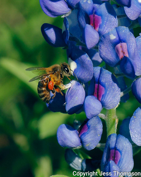 Bee on Bluebonnet Flower, Texas Hill Country