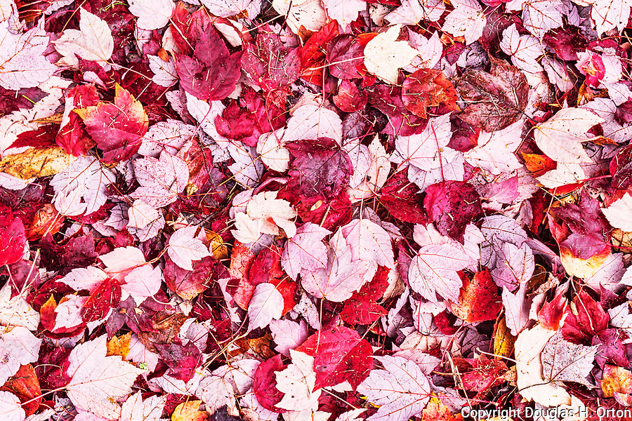 Pile of leaves from a red leaf maple tree in Belfair State Park day use area.  Near the city of Belfair, WA, USA