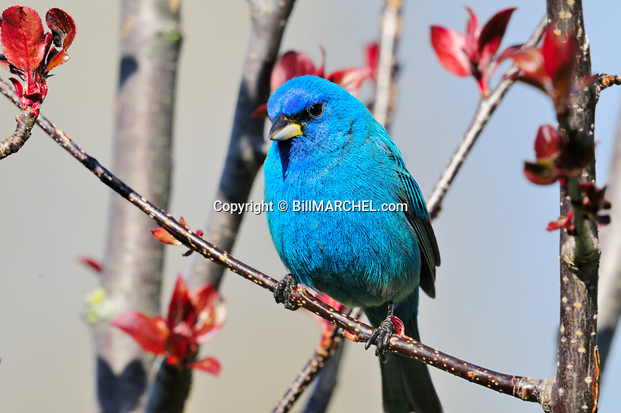 00120-00506  Indigo Bunting male is perched in shrub.  Blue, color, breed.