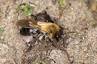 Glänzende Sandbiene, Glänzende Düstersandbiene, Glänzende Düster-Sandbiene, Flaum-Sandbiene, Flaumsandbiene, Weißflaum-Sandbiene, Sandbiene, Weibchen an Nest, Neströhre, Niströhre, Andrena nitida, Andrena pubescens, Grey-Patched Mining-Bee, female, Sandbienen, Andrenidae, mining bees, burrowing bees, mining bee, burrowing bee