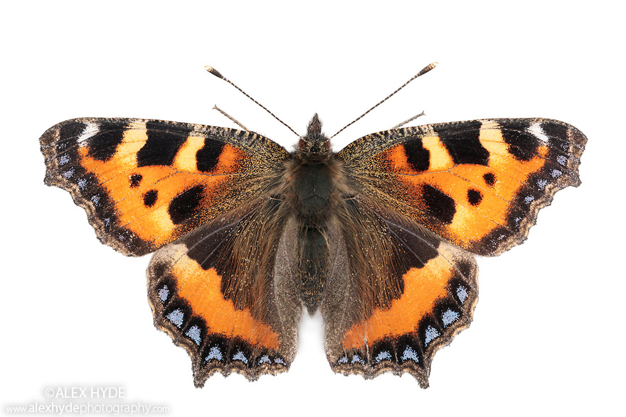 Small Tortoiseshell butterfly {Aglais urticae photographed on a white background in mobile field studio. Peak District National Park, Derbyshire, UK. September. Focus stacked image.
