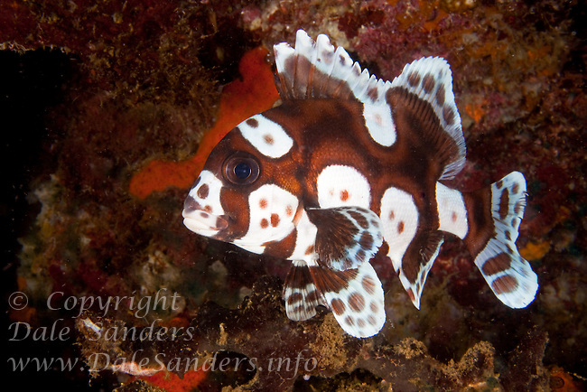 A juvenile Harlequin Sweetlips (Plectorhinchus chaetodonoides) swims inside a submerged volcanic crater on Garove Island in the Witu Islands, Papua New Guinea.