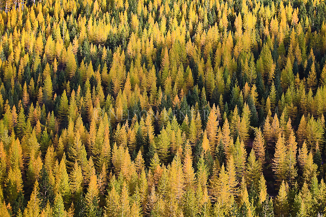 The Larch trees in western Montana mountain ranges turn yellow before dropping their needles each fall