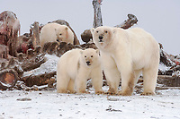 polar bear, Ursus maritimus, mother with cubs scavenging a bowhead whale, Balaena mysticetus, carcass on the pack ice, 1002 area, Arctic National Wildlife Refuge, Alaska, polar bear, Ursus maritimus